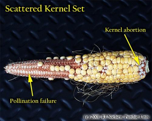 Sexual Dysfunction in the Corn Field (Purdue Univ.)