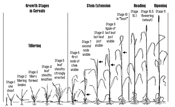 corn plant growth stages pictures to pin on pinterest