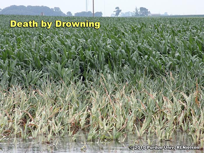 Corn Death by Drowning - Corny News Network (Purdue University)