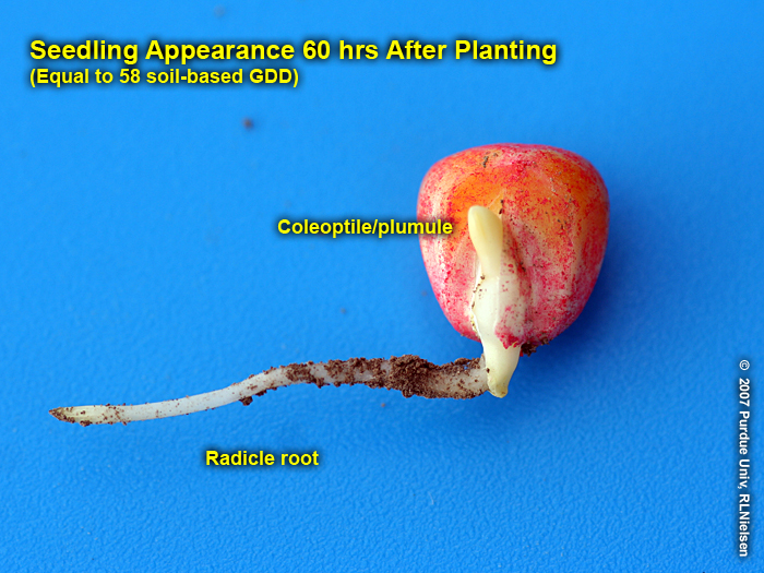 Corn germination image gallery corny news network for How to plant lemon seeds after germination