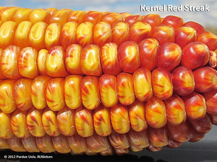 Kernel Red Streak in Corn (Purdue University)