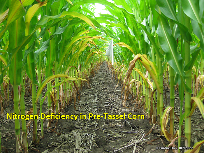 Nitrogen Deficiency