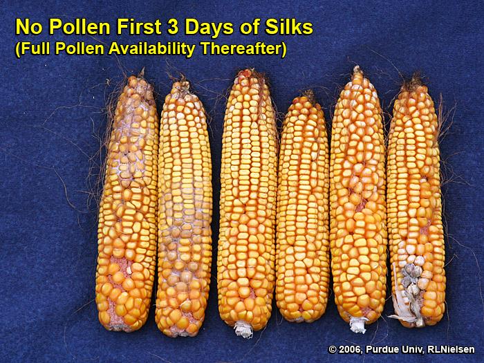 Silk Development and Emergence in Corn - Corny News Network (Purdue