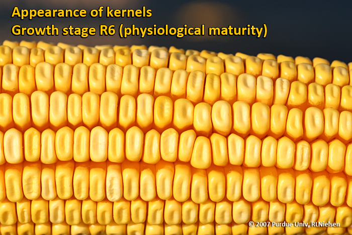 Corn stages of maturity