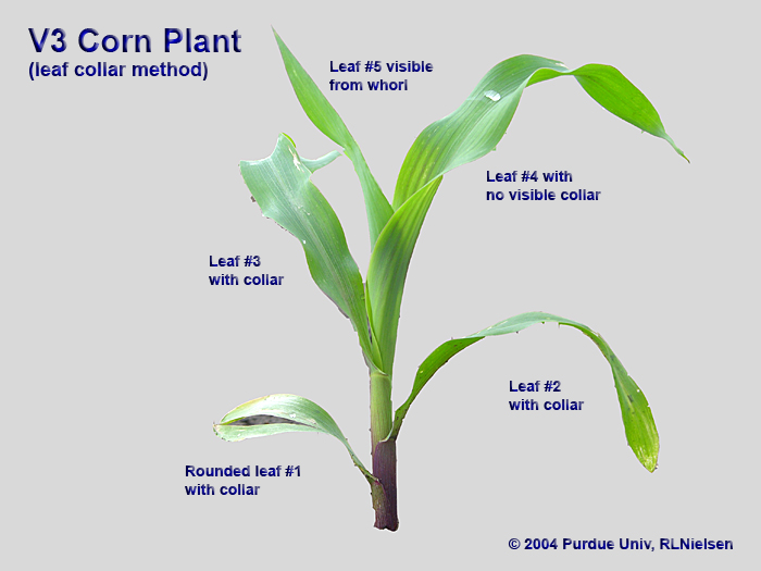 Corn Plant determining corn leaf stages - corny news network (purdue university)