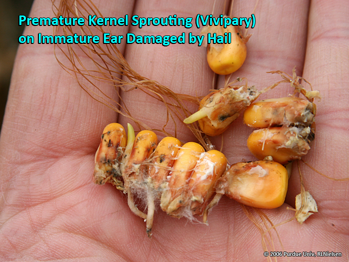 Premature Corn Kernel Sprouting (aka Vivipary) - Corny News ...
