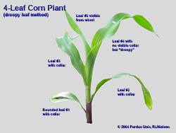 Corn leaf anatomy