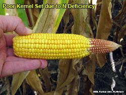 Poor tip fill due to N deficiency